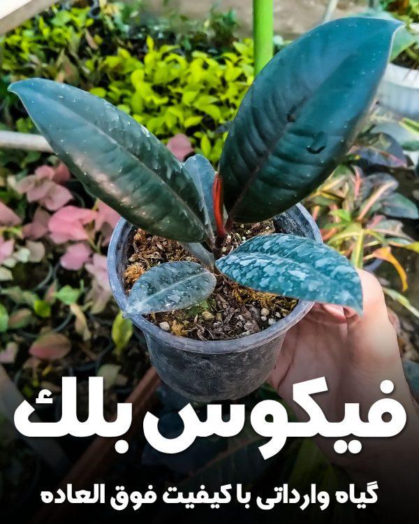 گیاه فیکوس بلک وارداتی (سیاه)