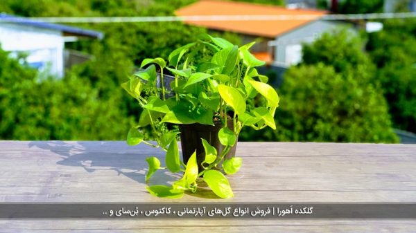 گیاه پتوس نئون (طلایی)