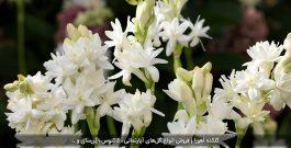 معرفی و روش کاشت گل مریم