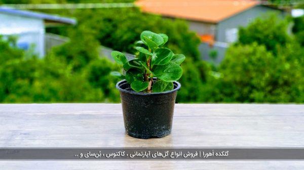 گل قاشقی سبز