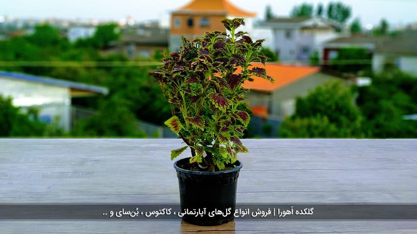 گیاه حسن یوسف