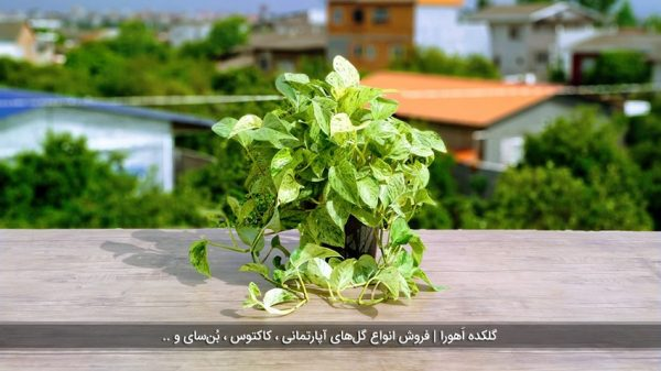 گیاه پتوس مرمر