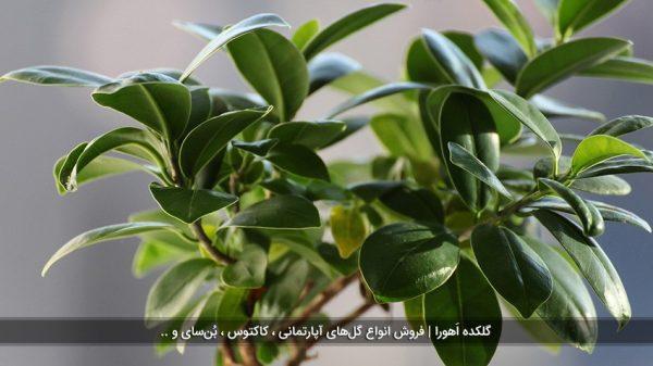معرفی 5 نوع گیاه فیکوس و شرایط نگهداری آنها