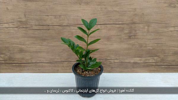 گیاه زامیفولیا متوسط