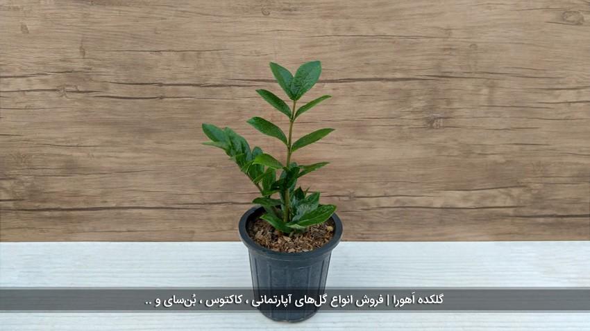 گیاه زامیفولیا متوسط (2 شاخه)