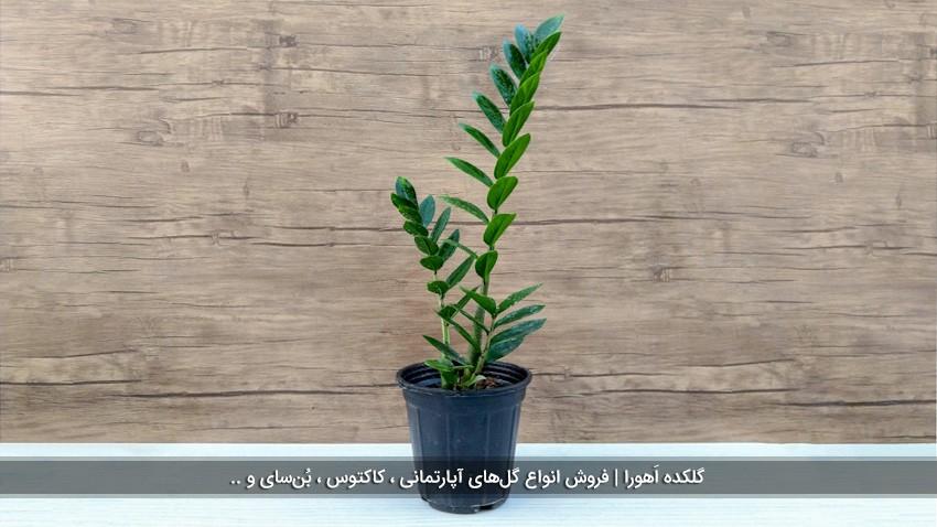 گیاه زامیفولیا بلند (3 شاخه)