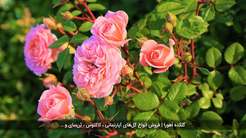 همه چیز درباره گل رز ایرانی