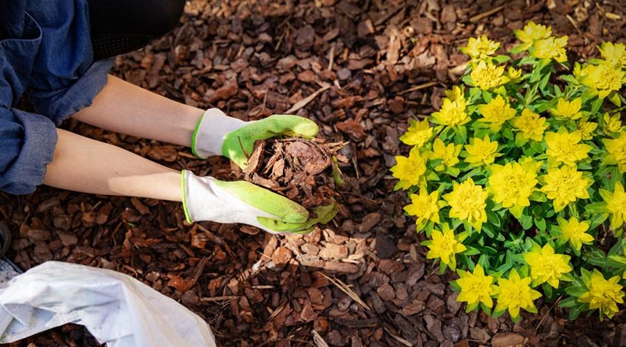 برای حفظ رطوبت گلدان از مالچ استفاده نمایید.