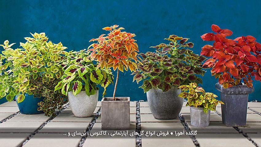 تبدیل گیاه حسن یوسف به درختچه