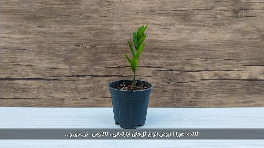 گیاه زامیفولیا کوتاه (تک شاخه)