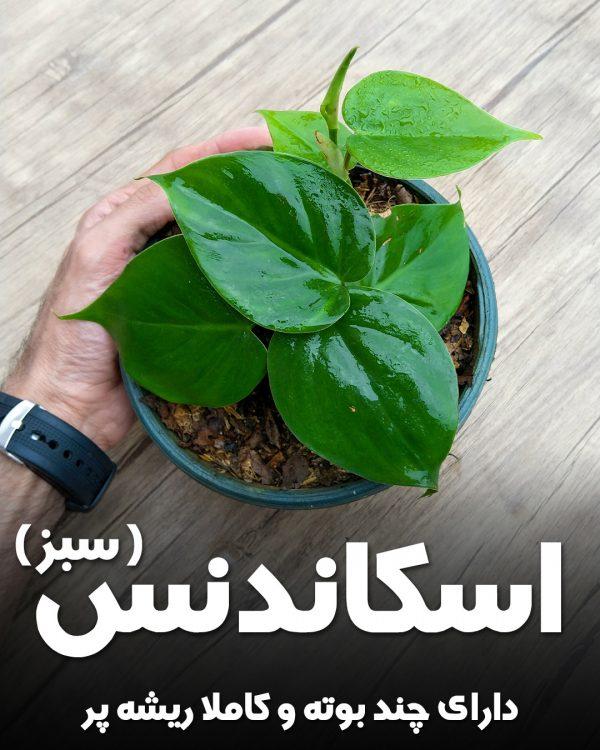 گیاه اسکاندنس سبز